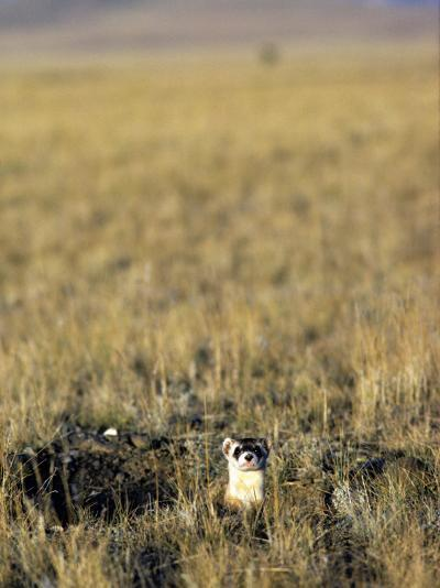 Black-Footed Ferret (Mustela Nigripes) in Grassland, Wyoming, Usa-Jeff Foott-Photographic Print