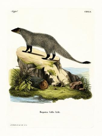 Black-Footed Mongoose