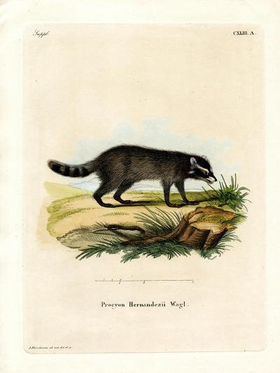 Black-Footed Raccoon--Giclee Print