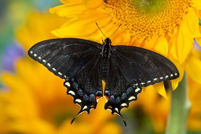 Black Form of Eastern Tiger Swallowtail Butterfly-Darrell Gulin-Photographic Print