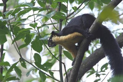 Black Giant Squirrel (Ratufa Bicolor) Gaoligong Mountain National Nature Reserve-Dong Lei-Photographic Print