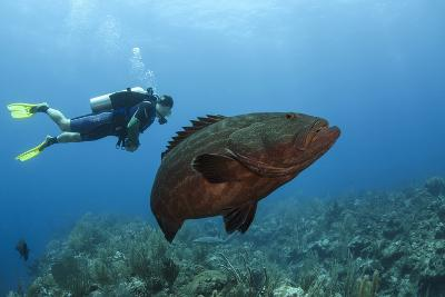 Black Grouper and Diver, Hol Chan Marine Reserve, Belize-Pete Oxford-Photographic Print