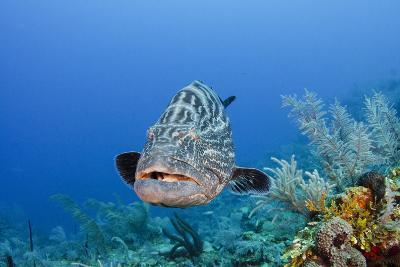 Black Grouper, Jardines De La Reina National Park, Cuba-Pete Oxford-Photographic Print
