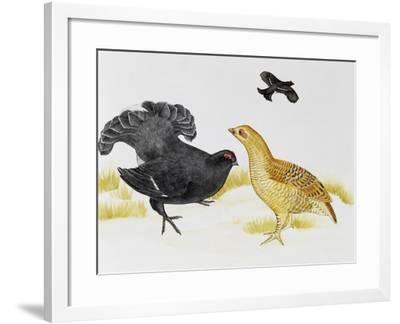 Black Grouse or Blackgame (Tetrao Tetrix), Phasianidae--Framed Giclee Print