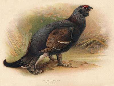 Black Grouse (Tetrau tetrix), 1900, (1900)-Charles Whymper-Giclee Print