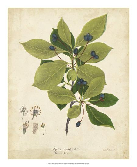 Black Gum Tree Foliage-John Torrey-Giclee Print