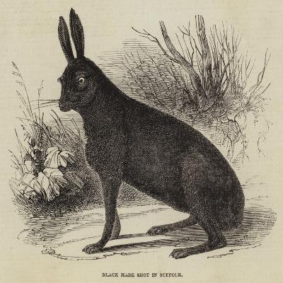 Black Hare Shot in Suffolk--Giclee Print