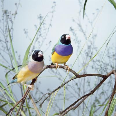 Black-Headed Gouldian Finch Pair--Photographic Print