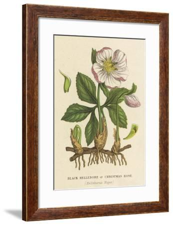 Black Hellebore, or Christmas Rose--Framed Giclee Print