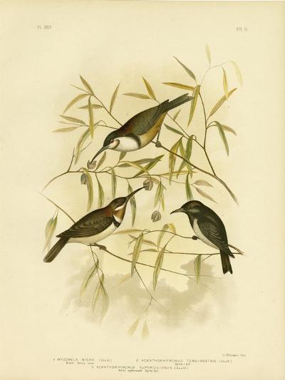 Black Honeyeater, 1891-Gracius Broinowski-Giclee Print