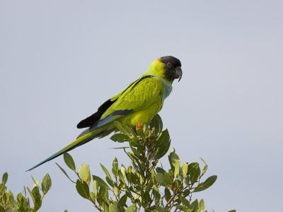 Black-Hooded Parakeet, Nandayus Nenday, an Introduced Species into South Florida, USA-John Cornell-Photographic Print