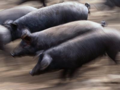 Black Iberico Pigs, Andalucia, Spain-Oliver Strewe-Photographic Print