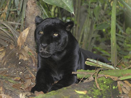 Black Jaguar or Panther (Panthera Onca), Belize-Thomas Marent-Photographic Print