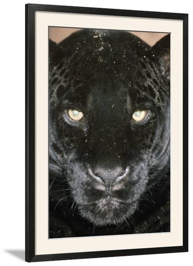 Black Jaguar--Framed Photographic Print