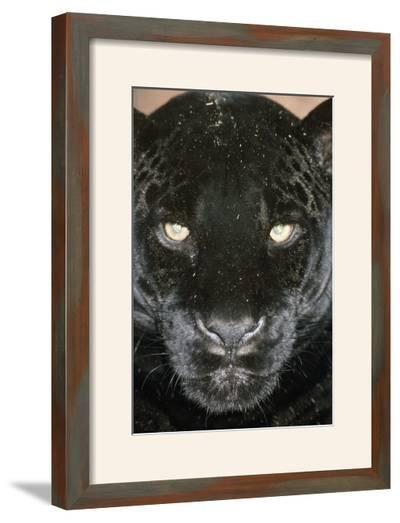 Black Jaguar--Framed Photographic Print