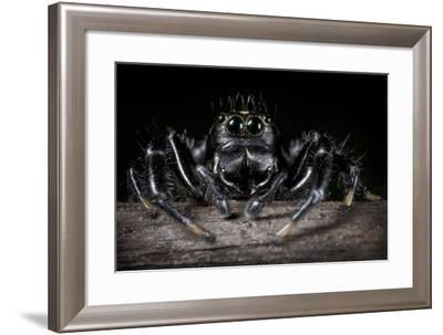 Black Jumping Spider (Salticidae)-Alex Hyde-Framed Photographic Print