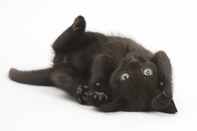 Black Kitten, 7 Weeks, Rolling on its Back-Mark Taylor-Photographic Print