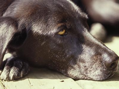Black Lab Lounges in the Afternoon Sun-Stacy Gold-Photographic Print