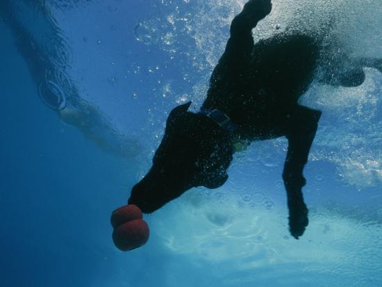 Black Lab Retrieves a Toy Underwater-Bill Curtsinger-Photographic Print