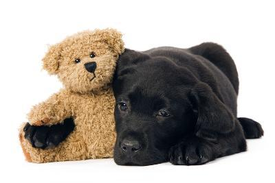Black Labrador Puppy in Studio with Teddy Bear--Photographic Print