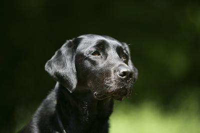 Black Labrador Retriever 22-Bob Langrish-Photographic Print
