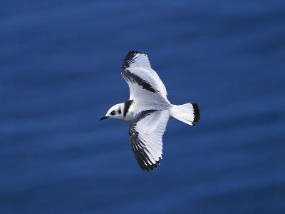 Black-Legged Kittiwake (Larus Tridactyla) Juvenile in Flight, Newfoundland-Tom Vezo/Minden Pictures-Photographic Print