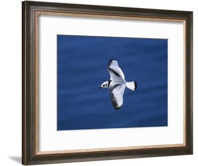 Black-Legged Kittiwake (Larus Tridactyla) Juvenile in Flight, Newfoundland-Tom Vezo/Minden Pictures-Framed Photographic Print