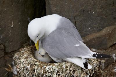 Black-Legged Kittiwake (Rissa Tridactyla) Adult and Chick on the Nest, Iceland, Polar Regions-James-Photographic Print