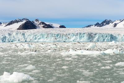 Black-Legged Kittiwakes (Rissa Tridactyla) on Ice Floe, Lilliehook Glacier in Lilliehook Fjord-G&M Therin-Weise-Photographic Print