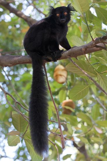 Black Lemur (Eulemur Macaco) Male, Nosy Komba, Madagascar-Bernard Castelein-Photographic Print