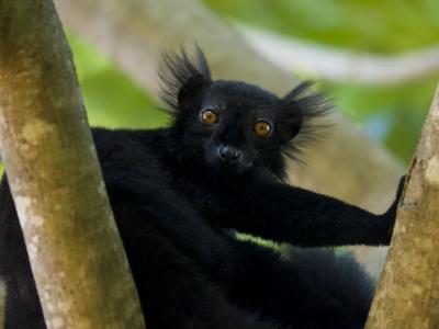 Black Lemur Male, Nosy Komba, North Madagascar, Iucn Vulnerable-Inaki Relanzon-Photographic Print