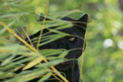 Black Leopard behind Leaves-DLILLC-Photographic Print