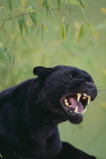 Black Leopard Snarling-DLILLC-Photographic Print