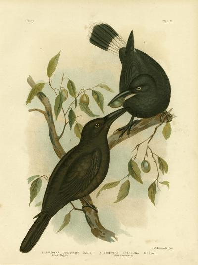 Black Magpie or Black Currawong, 1891-Gracius Broinowski-Giclee Print