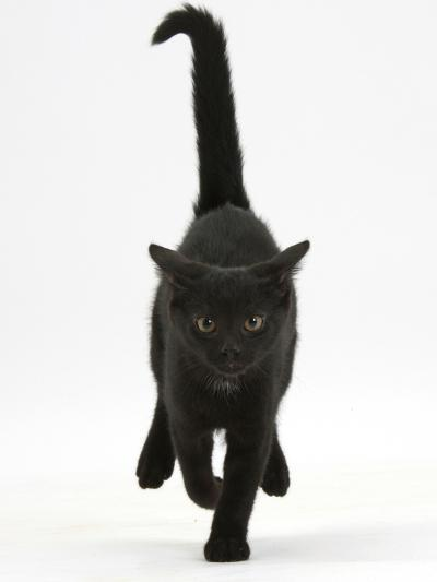 Black Male Kitten, Buxie, 12 Weeks Old, Running Forward-Mark Taylor-Photographic Print
