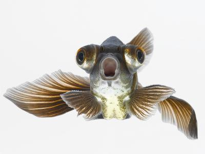Black Moor Goldfish (Carassius Auratus)-Don Farrall-Photographic Print