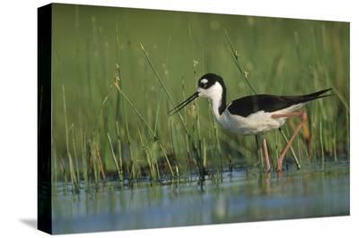 Black-necked Stilt wading through reeds, North America-Tim Fitzharris-Stretched Canvas Print