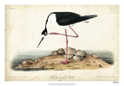 Black Necked Stilt-John James Audubon-Giclee Print