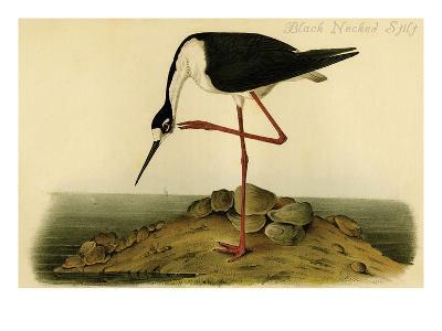 Black-necked Stilt-John James Audubon-Art Print
