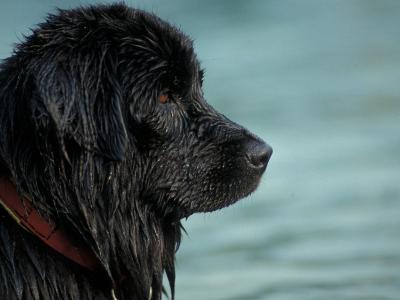 Black Newfoundland Dog Near Water-Adriano Bacchella-Photographic Print
