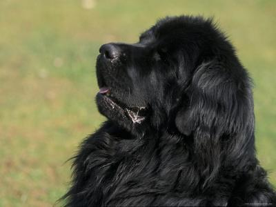 Black Newfoundland Looking Up-Adriano Bacchella-Photographic Print
