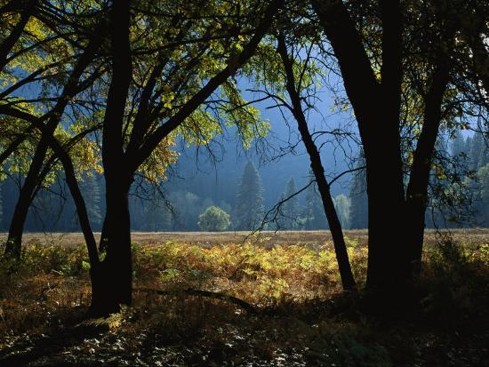 Black Oak Trees Near a Meadow in Yosemite National Park-Marc Moritsch-Photographic Print