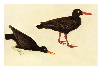 Black Oystercatcher-John James Audubon-Art Print