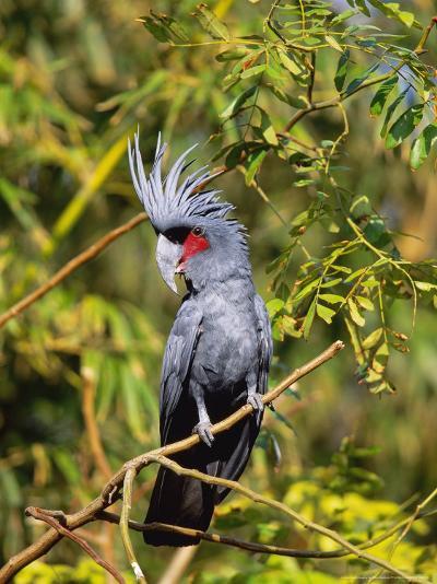 Black Palm Cockatoo, Crest Erect, Zoo Animal-Stan Osolinski-Photographic Print