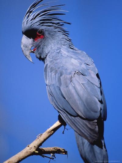 Black Palm Cockatoo, Crest Up, Zoo Animal-Stan Osolinski-Photographic Print