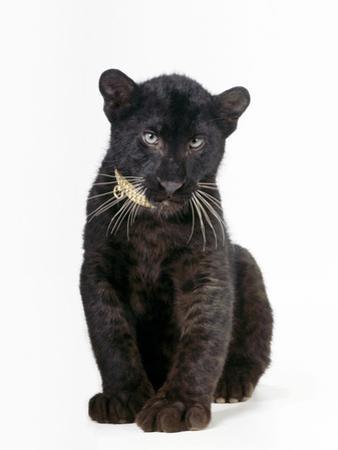 Black Panther Cub, 16 Weeks Old