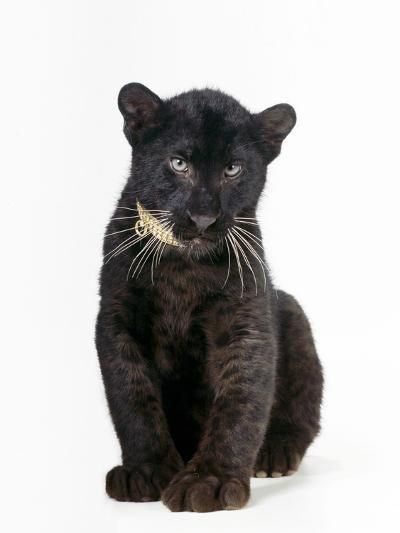 Black Panther Cub, 16 Weeks Old--Photographic Print