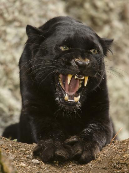 Black Panther (Panthera Onca), Melanistic Morph, Growling and Snarling, Captivity-Joe McDonald-Photographic Print