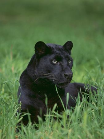 https://imgc.artprintimages.com/img/print/black-panther-sitting-in-grass_u-l-pzrbo50.jpg?p=0