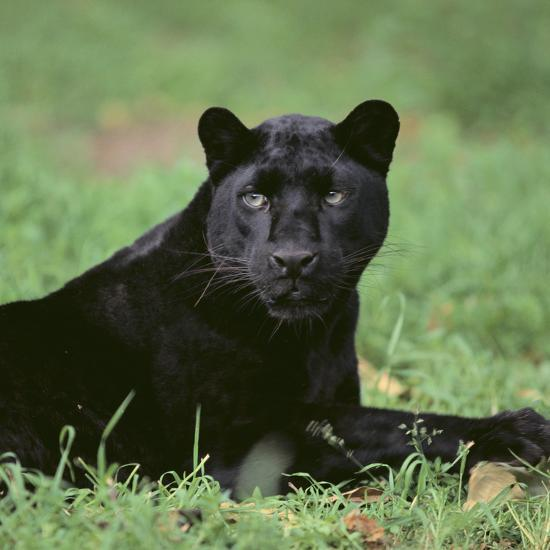 Black Panther Sitting in Grass-DLILLC-Photographic Print